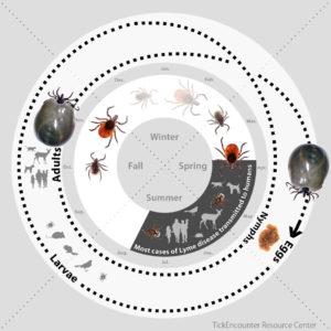 Deer Tick Life Cycle In Massachusetts