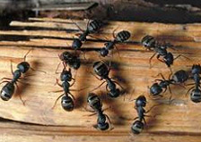 pest ant removal