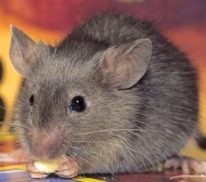 Mice Exterminator Near Me